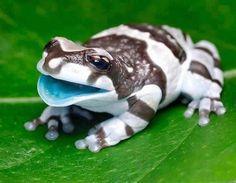 いやんかわいい!水色の唇と十字目、迷彩柄を持つアマゾンミルキーフロッグ(ジュウジメドクアマガエル) : カラパイア