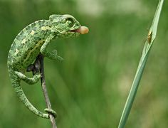 Chameleon about to have a snack