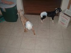 Goats in diapers. For Melissa Williams. Goats In Sweaters, Diapers, Creatures, Cute, Animals, Lady, Animales, Animaux, Kawaii