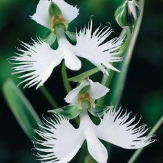 Orchid 'White Egret'  Habenaria radiata