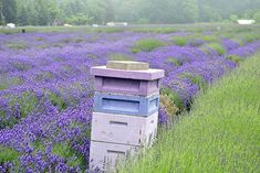Bee Hives in a lavender field means delicious and floral tasting lavender honey. #honey #bees #beautiful #beekeepingideas