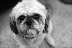 My dog Reggie. He is 100% Shih Tuzu & adorable. He is 14 years old this year and can no longer hear and his vision is only 10%. Love my baby!