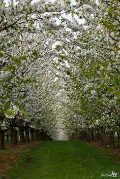 Pear Blossom Tunnel, Belgium This is just amazing. What a walk it would be!