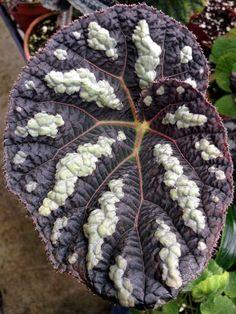 Begonia xanthina 'Dark Shadows'
