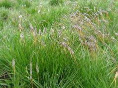 Tristachya leucothrix Trin. ex Nees - Google Search Grass Type, Grasses, Herbs, Google Search, Plants, Lawn, Grass, Herb, Plant