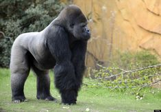 Ya Kwanza, a silverback gorilla male, walks in its enclosure 'Gorilla's Camp' at the Amneville zoo, eastern France, on April 04, 2012. Ya Kwanza arrived with seven other gorillas from other western zoos, as part of a the European breeding of Endangered species Programm (EEP) to promote their breeding. AFP PHOTO / JEAN-CHRISTOPHE VERHAEGEN