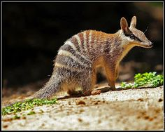 The numbat (Myrmecobius fasciatus), also known as the banded anteater, marsupial anteater, or walpurti, is a marsupial found in Western Australia. Its diet consists almost exclusively of termites. Reptiles, Mammals, Rare Albino Animals, Australia Animals, Pet Rats, Animal Facts, Cute Animal Pictures, Animals And Pets, Odd Animals