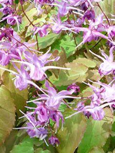 Epimedium grandiflorum 'Lilafee' / Großblütige Garten-Elfenblume