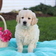 Golden Retriever puppy for sale in GAP, PA. ADN-52265 on PuppyFinder.com Gender: Female. Age: 6 Weeks Old