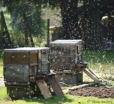 Helping save bee populations by keeping a hive on your farm doesn't have to be a lot of work. These tips will help you maintain a hive with ease.
