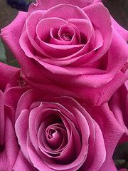 "ROSE MONTH gorgeous ""soul mate"" roses sustainably grown"