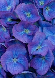 "Beautiful blue flowers of hydrangea macrophylla ""Renate Steinger'"