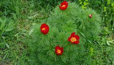 Bujor de stepă (Paeonia tenuifolia)-Rezervaţia de Bujori de Stepă-RO Paeonia Tenuifolia, Flora, Vegetables, Plants, Vegetable Recipes, Veggies