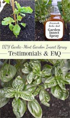 Click to read these DIY Garlic-Mint Garden Insect Spray reader testimonials and frequently asked questions- this easy-to-make spray recipe is another tool every organic gardener should have in their gardening arsenal.