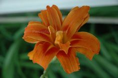 5x7 Digital Orange and Red Flower Photograph by Perceptionsbasket