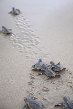 Cute baby #turtles at Raz Al Hadd, #Oman