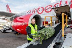 DER ER NOGET I LUFTEN: Flyver man med airberlin, kan man helt gratis få sit juletræ med, også selvom det fylder lidt mere end en almindelig kuffert.