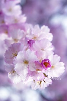 Sakura by Cecily Andreu on 500px