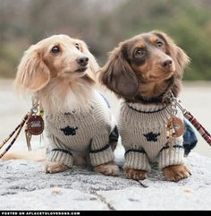 Two adorable and well-dressed Dachshunds.