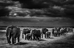 What would you imagine wildlife photographer, Laurent Baheux answered when we asked if he were an animal, what would he be...? http://www.thereinventiondiva.com/laurent-baheux-black-white-wildlife-photographer/