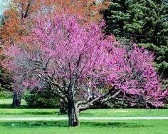 Pictures of Flowering Trees: Eastern Redbud Trees