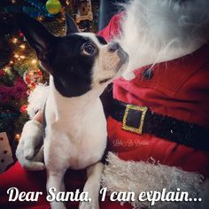 The 50 Best Dog Holiday Card Ideas - Fidose of Reality Christmas Animals, Christmas Dog, White Christmas, Christmas Cards, Boston Terrier Love, Boston Terriers, Terrier Puppies, Funny Dogs, Cute Dogs