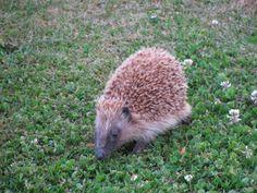 Hedgehog (Jan 2014)