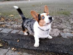 I've wanted a Corgi for a few years but can't because of school ...