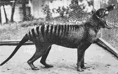 El ultimo Tigre de Tasmania conocido (ahora extinto) fotografiado en 1933. http://www.lavidalucida.com/2014/06/30-fotografias-historicas-que-te.html