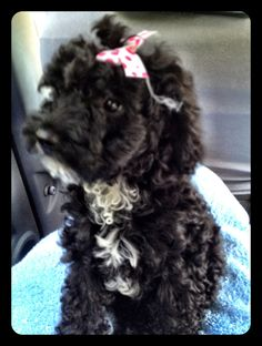 Baby poodle
