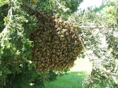Free Online Beekeeping Lessons about beekeeping, beekeeping supplies, beekeeping classes, beekeeping equipment, honey bees, honeybees