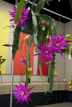 """Epiphyllum (""""sobre la hoja"""" en griego) es un género de 19 especies de plantas epifitas en la familia de los cactus, nativos de Centroamérica."""