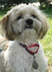 England is an adoptable Lhasa Apso Dog in Waukesha, WI. My name is England and I am a 1 year old Lhasa Apso/Poodle mix here at HAWS that is patiently waiting for my forever home. I was a stray so the ...