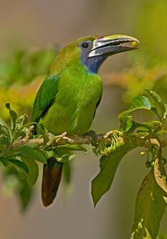 Emerald Toucanet - Costa Rica