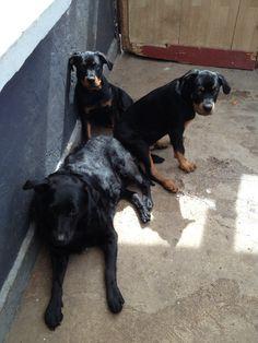 Mine tre dejlige hunde