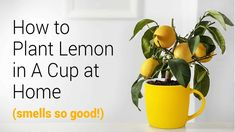 Lemon, planted in your cup, makes both an awesome houseplant and becomes a vital source of Vitamin C. Learn how to start a lemon tree today. Drinking Lemon Juice, Juice Of One Lemon, Planting Lemon Seeds, Lemon Plant From Seeds, Lemon Infused Water, Lemon Tree From Seed, Cupping At Home, How To Grow Lemon, Lemon Health Benefits