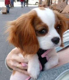 King Charles Cocker Spaniel Puppy