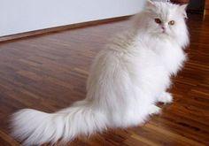 Foto cantik & lucu kucing persia putih