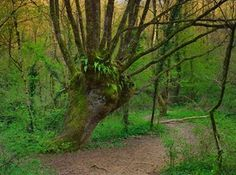 Chêne tétard du Puits d'enfer (Poitou Charentes) Photo © Emmanuel Boitier pour @[71472419096:274:Terre Sauvage]