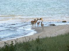 Good Hart.   Deer in Lake Michigan.  Unique little town where we go for baked goods and a wonderful ride down the tunnel of trees, highway 19.