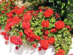 Balcons et terrasses, le principe de pose pour les plantes en pots Pot Plante, Plantation, Love Flowers, Shrubs, Fruit, Bouquets, Silhouette, Container Gardening, Small Gardens