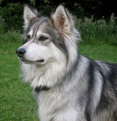 Utonagan - 'Spirit of the wolf': The importance of grooming your dog