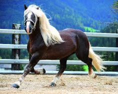 Zamba Schaunitz XV, Noriker stallion. Pferdezucht-Austria.
