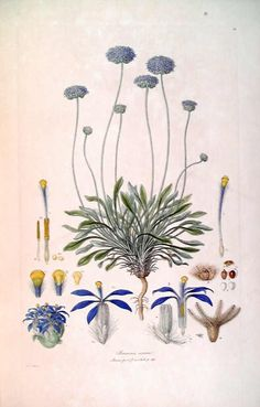 ' Brunonia sericea  (now Brunonia australis)  ' by Ferdinand Bauer (1760–1826)(Illustrationes Florae Novae Hollandiae plate 10) - Illustrationes Florae Novae Hollandiae -