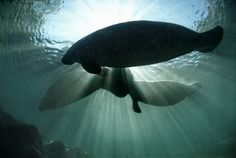 Take an armchair swim with us to a Florida reserve created specifically to protect endangered West Indian manatees.