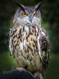European Eagle Owl by Roger Rlp