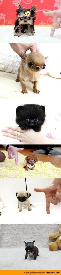 Such tiny puppies with such big souls! Pretty Animals, Cute Little Animals, Cute Funny Animals, Animals Beautiful, Tiny Puppies, Teacup Puppies, Cute Puppies, Cute Dogs, Kawaii