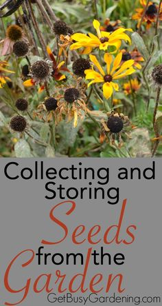 This week is all about collecting seeds. Just look around you, there are seeds here, seeds there... seeds everywhere! Whew. So I'm kicking it off in style. Here's how to get started Collecting and Storing Seeds From the Garden | GetBusyGardening.com: