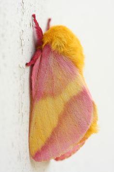 Rosy Maple Moth ~ George W Bailey