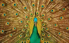 Download Wallpaper 3840x2400 Bird, Peacock, Feathers, Tail Ultra ...